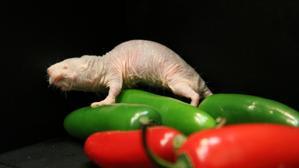 El «pequeño» secreto de la rata inmune al dolor