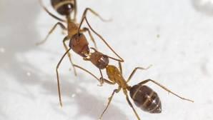 Las hormigas usan el «boca a boca» para dirigir el futuro de su colonia