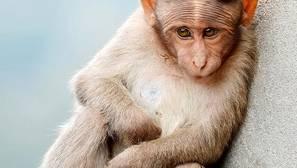 ¿Por qué los monos no hablan y cómo sonarían si lo hicieran?