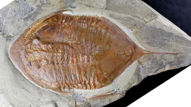 Fósil de un trilobites hallado en Marruecos