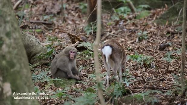 El mono intenta montar a un ciervo en la isla japonesa de Yakushima