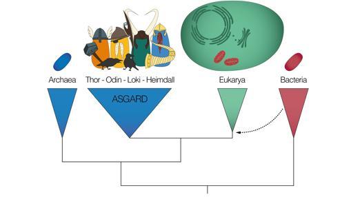 Árbol «genealógico» de los tres dominios de la vida (Arqueas, Eucariotas y Bacterias), y su relación con las Arqueas de Asgard
