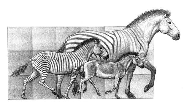 Tres especies del género 'Hipparion', que convivieron en la Península Ibérica hace entre 9 y 5 millones de años, un buen ejemplo de la variabilidad de tamaño en el linaje de los caballos