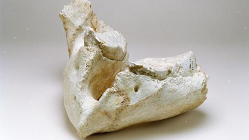 Restos de mamut situados en el Museo de los Orígenes (Madrid)