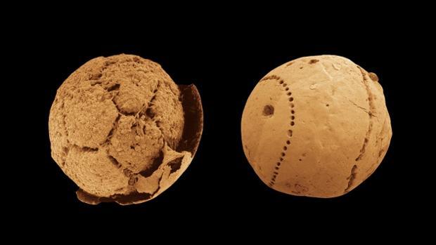 Fósiles diminutos de Doushantuo considerados los primeros animales del planeta