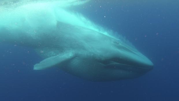 Una gigantesca ballena azul, en la costa de California