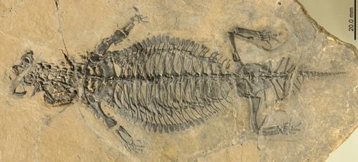 Fósil de Eusaurosphargis dalsassoi