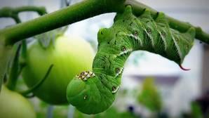 Una oruga en una planta de tomate