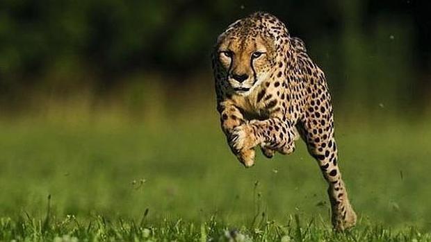 Un guepardo, el animal terrestre más rápido del planeta
