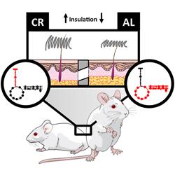 Ratón con dieta restrictiva (izquierda) y ratón que come lo que quiere