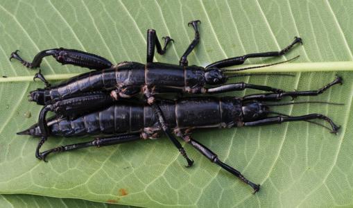 Una pareja de insectos palo de la isla de Lord Howe