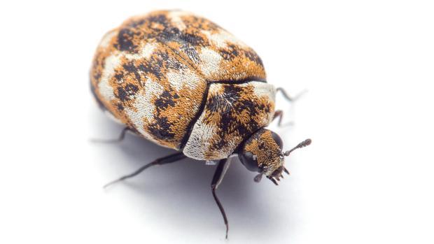 Escarabajo de la alfombra, inofensivo pero aficionado a comer fibras textiles y otros insectos muertos
