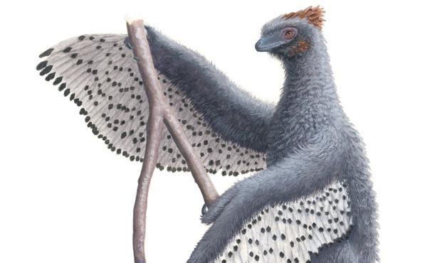 Una nueva representación de Anchiornis y su pluma de contorno