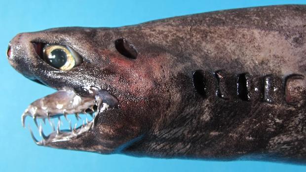 Trigonognathus kabeyai es una especie de tiburón descubierta en 1986 y solo avistada unas pocas veces
