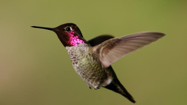 Estudiaron las maniobras del vuelo de más de 200 colibríes de 25 especies. En la imagen, un colibrí de Ana («Calypte anna»)