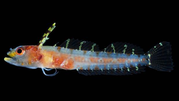 «Haptoclinus dropi», una de las 30 especies descubiertas recientemente en esta zona rarifótica, muy inexplorada en todo el mundo