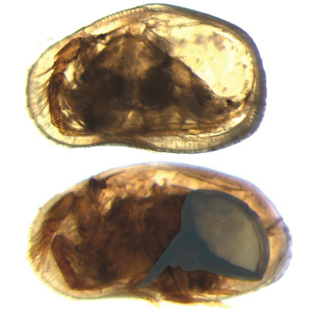Hembra (izquierda) y macho (abajo) del ostrácodo Cypideis salebrosa. El caparazón masculino es más alargado que el de la hembra. Se cree que esto refleja la necesidad de acomodar los grandes genitales masculinos (resaltados en azul)