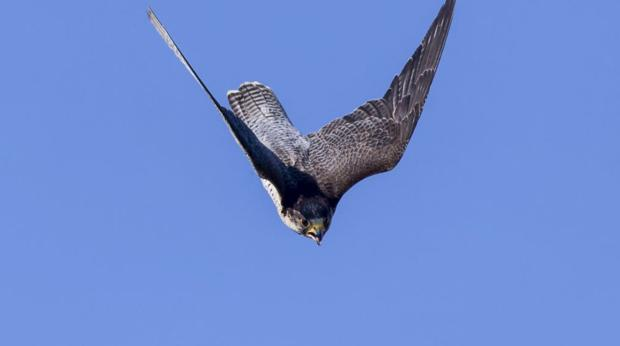 El halcón peregrino