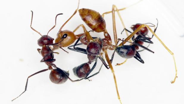 Comportamiento explosivo de C. explodens en un entorno experimental con una hormiga tejedora