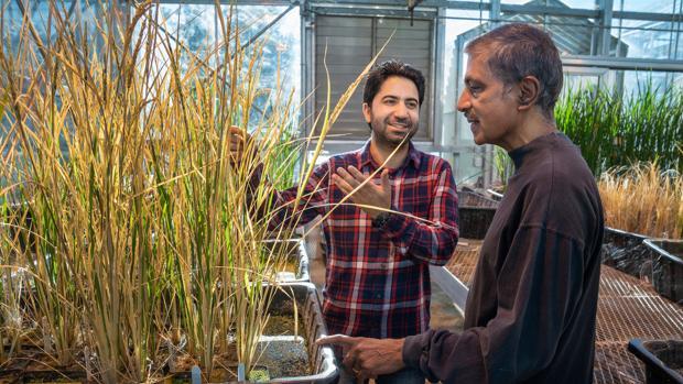 Los investigadores Imtiyaz Khanday y Venkatesan Sundaresan, impulsores de la investigación, en un invernadero de la Universidad de California en Davis (EE.UU.)