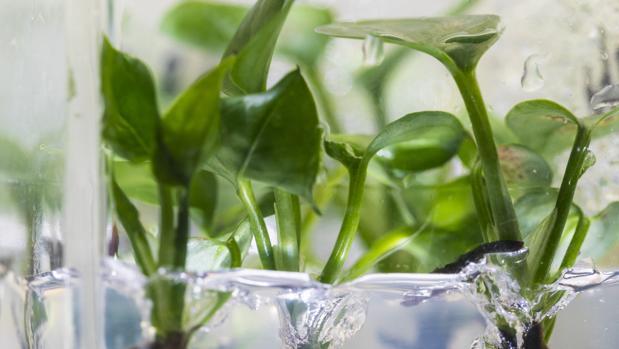Investigadores modificaron genéticamente una hiedra potos para eliminar el cloroformo y el benceno del aire que la rodea