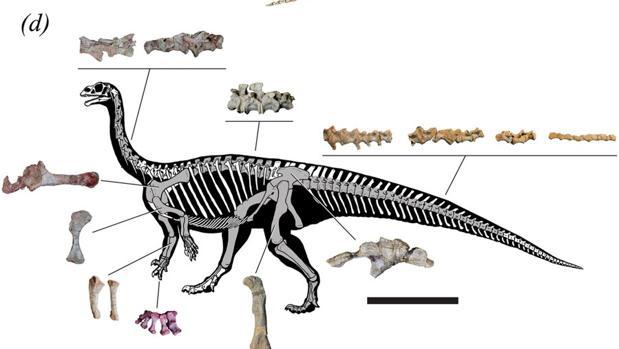 Reconstrucción del esqueleto adulto de «Mussaurus patagonicus» a partir de varios fósiles. El centro de gravedad del animal se desplazaba cuando llegaba a la madurez, lo que le permitía hacerse bípedo