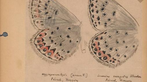 Las mariposas eran la gran pasión de Nabokov. En la imagen, anotaciones y dibujos del autor