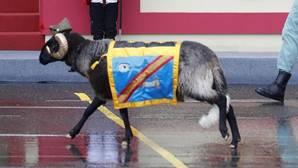 «Miura», el taurino y bravo nombre de la cabra de la Legión