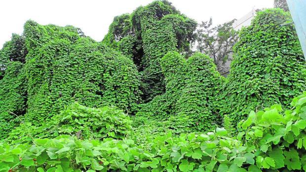 La espesa hiedra «kuzu» trepando sobre los árboles de un cementerio en Tokio en una fotografía de Belda