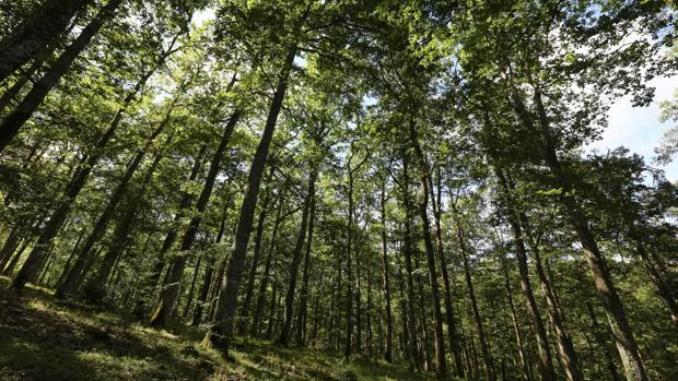 Bosque de robles en la localidad de Salinas de Léniz
