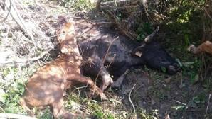 Mueren ahogadas más de 50 vacas bravas en la ganadería de Núñez del Cuvillo