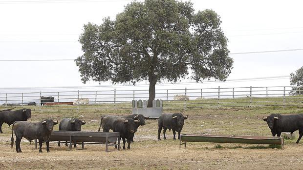 Toros de Victorino en la finca cacereña «Las Tiesas de Santa María»