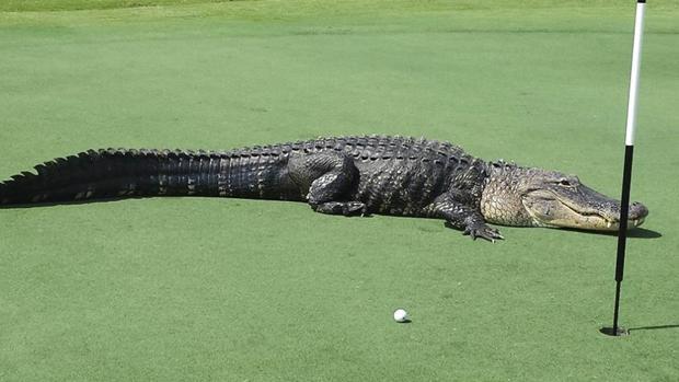Caimán en un campo de golf de Florida