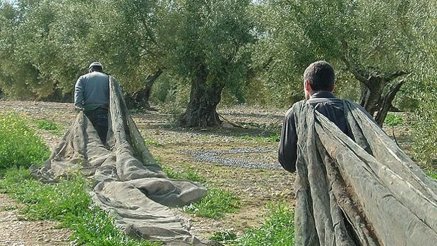 Recogida de la aceituna en la provincia de Jaén