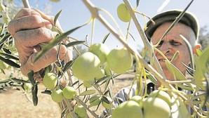 Egipto le hace la competencia a la aceituna sevillana