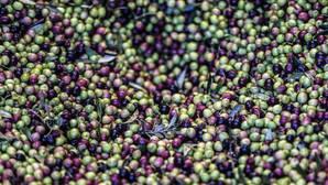 El aceite de oliva, garantía de éxito de la Marca España