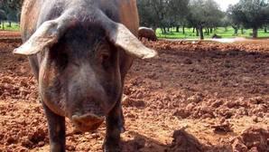 La OMC declara ilegal la prohibición de Rusia a las importaciones de carne de cerdo europea