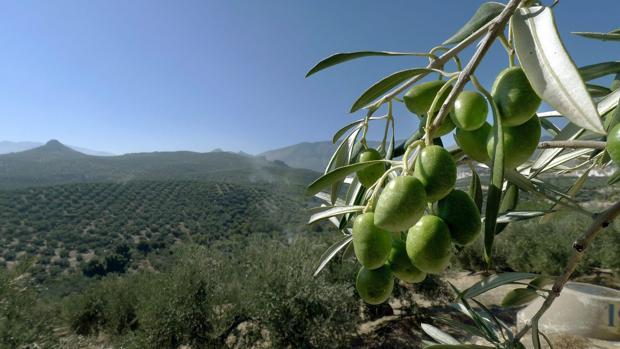 Campos de olivos en la provincia de Jaén