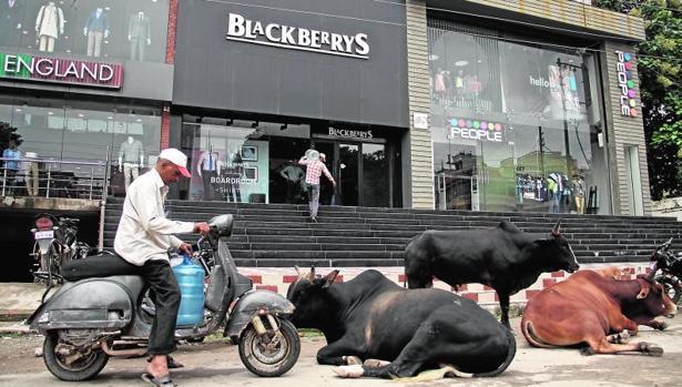 Vacas en plena calle, sagradas para la religión hindú, ante un moderno centro comercial