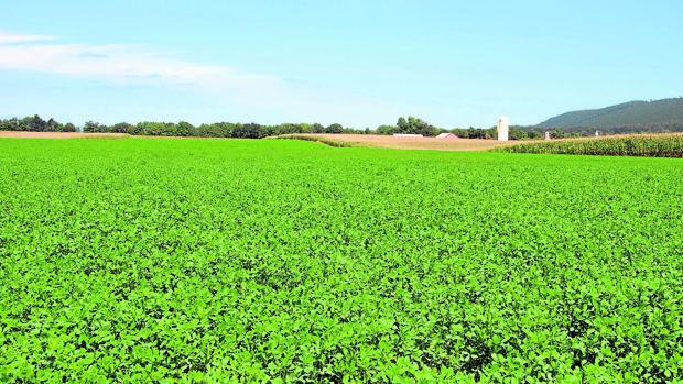 Imagen de una plantación de alfalfa