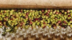 La producción de aceite de oliva aumenta un 66% en la pasada campaña