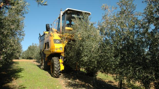 Plantación de olivar en seto