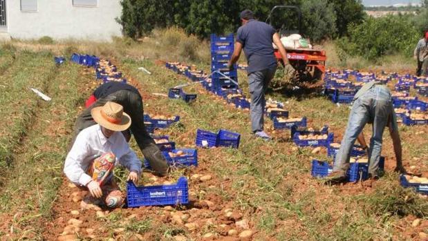 Trabajadores recolectan tubérculos de la variedad patata roja