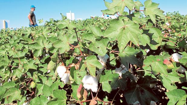 La liquidación de la ayuda específica del algodón se adelantará en esta campaña