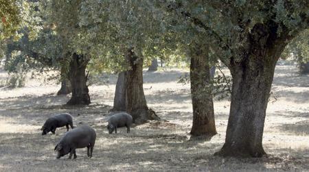 Ganado porcino en una dehesa