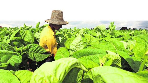 La cultiva de hoja de tabaco tiene mucha importancia en la parte norte de la provincia de Cáceres