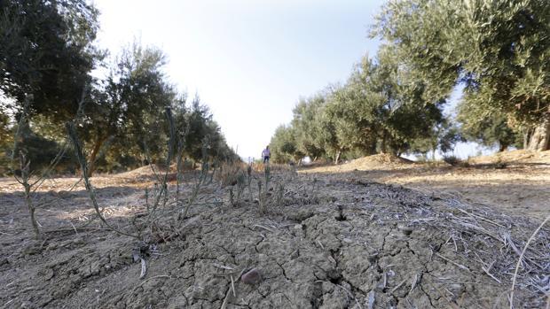 Cultivo de olivos dañado por la sequía en la prvincia de Córdoba