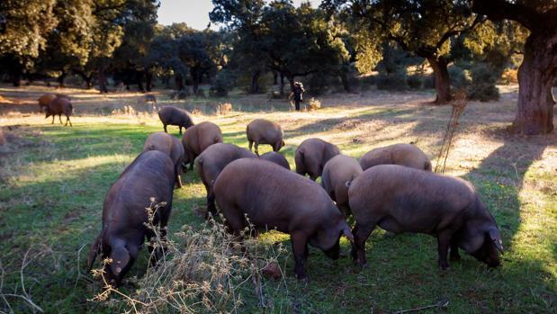Cerdos ibéricos durante la montanera en una finca de Jerez de los Caballeros (Badajoz)