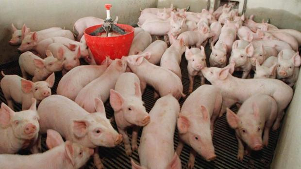 Explotación de ganado porcino intensiva