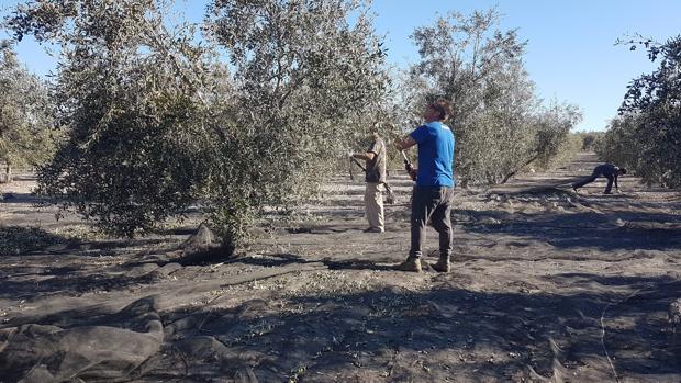 Agricultores varean olivos para conseguir el fruto de la aceituna
